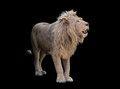 Lion standing view from right side isolated at black Royalty Free Stock Photo