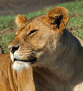 Lion in the sun happy with on her face serengeti tanzania Royalty Free Stock Images