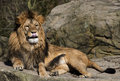 Lion a in the sun resting on the rocks with tongue out Royalty Free Stock Image
