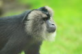 Lion tailed macaque the detail of Stock Photography