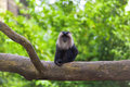 Lion tailed macaque sitting on a branch in the jungle Stock Photography