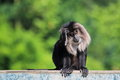 Lion tailed macaque the sitting on the desk Stock Images