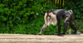 Lion tailed macaque walking its also known as wanderoo bartaffe beard ape and macaca silenus Stock Photo