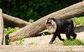 Lion tailed macaque walking its also known as wanderoo bartaffe beard ape and macaca silenus Stock Photos