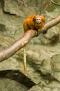 Lion tamarin monkey Stock Photos