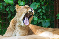 Lion yawn female panthera leo showing her teeth while yawning Royalty Free Stock Photos