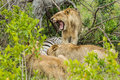 Lion yawning at Kill South Africa Royalty Free Stock Photo