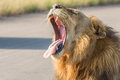 Lion yawning kruger national park south africa Stock Images