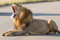 Lion yawning kruger national park south africa Stock Photography