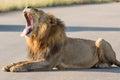 Lion Yawning Royalty Free Stock Photo