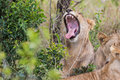 Lion yawning South African Wildlife Royalty Free Stock Photo