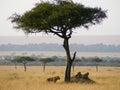 Lion youngsters resting under an acacia tree in savanna masai mara national park kenya Royalty Free Stock Photos