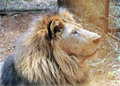Lion in the zoo amoy city china Royalty Free Stock Photography