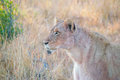 Lione portrait of a lioness blood on her skin from a just eaten warthog Stock Photo