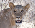 Lioness africa kenya samburu game reserve looking at camera Royalty Free Stock Photos