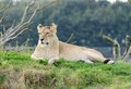 Lioness Alert Royalty Free Stock Photo