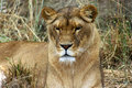 Lioness a beautiful sit still within the dry grass Royalty Free Stock Photos