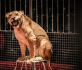 Lioness in circus gorgeous roaring sitting a arena cage Royalty Free Stock Images