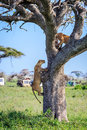 Lioness climbing the tree panthera leo a in serengeti national park tanzania Stock Photo