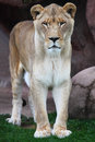 Lioness close up shot of portrait Royalty Free Stock Images