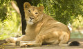 Lioness closeup asiatic lion panthera leo persica female once found in most of its range but now it is only found in wild at gir Royalty Free Stock Photography