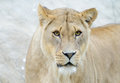 Lioness closeup of head and face staring and looking dangerous Stock Photography