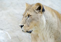 Lioness closeup profile of head and face Stock Photo