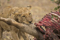 Lioness with common eland kill panthera leo tragelaphus oryx Stock Images