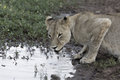 Lioness crouched down drinking from a waterhole Royalty Free Stock Images