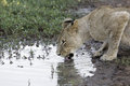 Lioness crouched down drinking from a waterhole Stock Photography