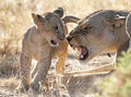 Lioness with cub Royalty Free Stock Photo
