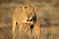 Lioness with cubs Stock Image