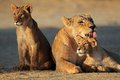 Lioness with cubs Royalty Free Stock Photo
