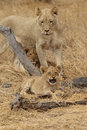 Lioness with cubs in Kruger National Park Stock Photo