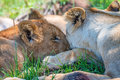 Lioness demonstrates tendeness