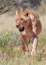 Lioness in erba Fotografia Stock Libera da Diritti