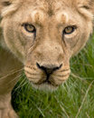 Lioness face close up looking at the camera Stock Photo