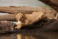 Lioness feeds from the carcass of a Hippo Royalty Free Stock Images