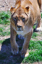 Lioness the female lion in a safari park in crimea ukraine Royalty Free Stock Photography