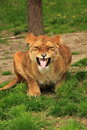 Lioness flaming making an ugly face while she is lions do this to taste the air Stock Photography