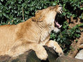 Lioness a gaping on a tree Royalty Free Stock Photo