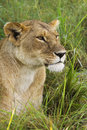 Lioness in the grass african masai mara national reserve kenya Stock Image