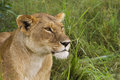 Lioness in the grass african masai mara national reserve kenya Royalty Free Stock Image