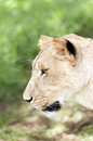 Lioness head Royalty Free Stock Image