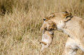 LIoness with her 1 week cub Royalty Free Stock Photo