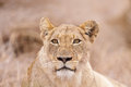 Lioness in Kruger National Park Royalty Free Stock Photo