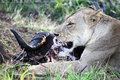 Lioness lies near the head of the dead Buffalo. Predator and prey. Royalty Free Stock Photo