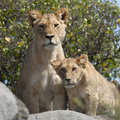 Lioness and lion cubs in Serengeti Stock Photography