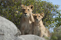 Lioness and lion cubs in Serengeti Stock Image
