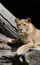Lioness looking towards the viewer Royalty Free Stock Photography